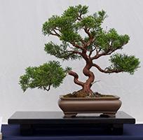Pruning Bonsai